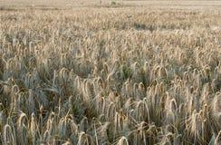 Cevada de inverno (vulgare L do Hordeum ) Imagens de Stock