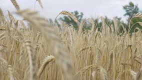 Cevada do campo na colheita do período filme
