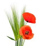 Cevada verde com as flores vermelhas da papoila foto de stock