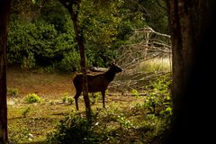 Ceylon Bevlekte Herten, het Nationale Park van Wilpattu, Sri Lanka stock afbeelding