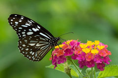 A Ceylon Blue Glassy Tiger Butterfly Sucking Honey From Colorful Flowers. stock image
