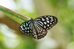 Ceylon Blue Glassy Tiger stock photos