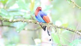 Ceylon Blue Magpie stock video