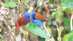 Ceylon Blue Magpie stock footage