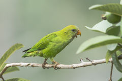 Ceylon Hanging-Parrot on a branch Royalty Free Stock Photos