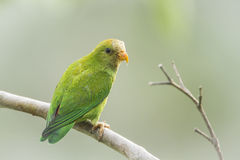 Ceylon Hanging-Parrot in Ella, Sri Lanka Stock Photos