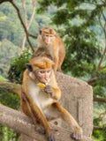Ceylon-Hutaffe, der Banane isst Lizenzfreies Stockbild