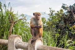 Ceylon-Hutaffe, der um Lebensmittel bittet Lizenzfreies Stockfoto