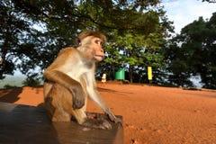 Ceylon kapeluszu małpa od Sri Lanka fotografia royalty free