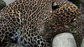 Ceylon lampart śpi na drzewie zbiory wideo