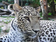 ceylon leopard royaltyfria bilder