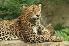 ceylon leopard arkivfoton