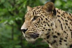 ceylon leopard royaltyfri bild