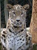 Ceylon Leopard. A Ceylon Leopard (Panthera pardus kotiya) at Jihlava Zoo in Eastern Bohemia, Czech Republic royalty free stock photos