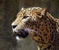 Ceylon Leopard. A Ceylon Leopard (Panthera pardus kotiya) at Jihlava Zoo in Eastern Bohemia, Czech Republic stock photo