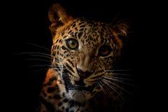 Ceylon leopard - Panthera pardus kotiya stock images