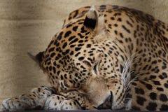 Ceylon leopard Stock Images