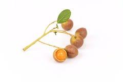 Ceylon oak (Schleichera oleosa (Lour.) Merr. Stock Photography
