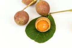 Ceylon oak (Schleichera oleosa (Lour.) Merr. Royalty Free Stock Image