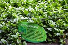 Ceylon Spinach Stock Photos
