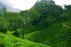Ceylon tea Stock Photography