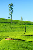 Ceylon tea Royalty Free Stock Photo