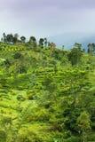 Ceylon tea plantation Royalty Free Stock Photos