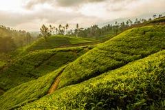 Ceylon tea plantation Royalty Free Stock Images