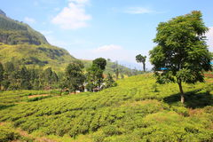 Ceylon tea plantation in Sri Lanka Royalty Free Stock Photo