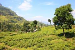 Ceylon tea plantation in Sri Lanka Royalty Free Stock Photo
