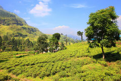 Ceylon tea plantation in Sri Lanka Royalty Free Stock Images