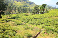 Ceylon tea plantation in Sri Lanka Royalty Free Stock Image