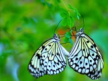 Ceylon Tree Nymph butterflies mating Stock Photography