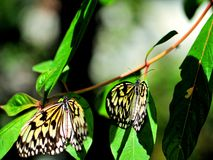 Ceylon Tree-Nymph butterflies Royalty Free Stock Images