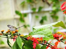 Ceylon Tree Nymph butterfly in aviary Stock Images