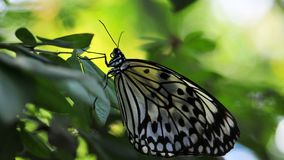 Ceylon Tree Nymph butterfly Stock Image
