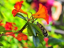 Ceylon Tree-Nymph butterfly among flowers Royalty Free Stock Photos