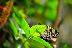 Ceylon Tree-Nymph butterfly on green leaf Royalty Free Stock Photos