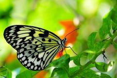 Ceylon Tree Nymph butterfly Stock Photography
