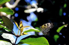 Ceylon Tree-Nymph butterfly standing on leaf Royalty Free Stock Photos