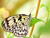 Ceylon Tree Nymph (Idea iasonia) butterfly Stock Images