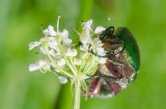 Cf Aurata Cetonia - розовый жук-чефер стоковые фото