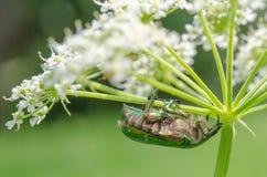 Cf Aurata Cetonia - розовый жук-чефер стоковая фотография rf