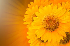 Cg-bakgrund av solrosen Arkivfoton