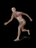 CG illustration of running male figure. Anatomical illustration of running male figure showing the muscles, skeleton and internal organs Stock Images