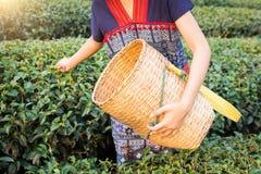 Chá da colheita da mulher de Ásia Foto de Stock Royalty Free