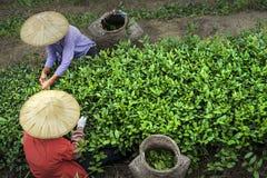 Chá da picareta foto de stock royalty free