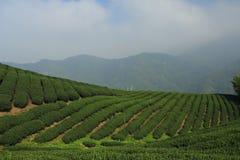 chá da plantação Foto de Stock