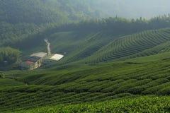 chá da plantação Imagem de Stock Royalty Free