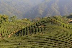 chá da plantação Fotografia de Stock